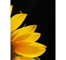 SUNFLOWER PETALS IN DARK SETTING Photographic Print