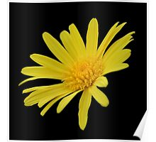 Yellow Daisy Flower Isolated Poster