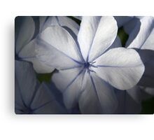 Pale Blue Plumbago Flower Close Up Canvas Print