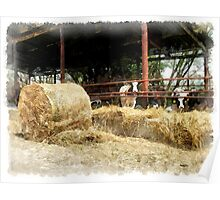 Cows with hay Poster