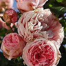 Rose Giardina by Martina Cross