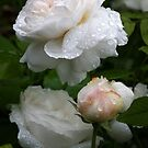 English David Austin Rose Winchester Cathedral by Martina Cross