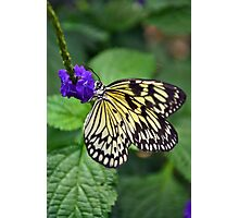 Black and yellow butterfly Photographic Print