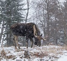 Moose in a snow storm by Josef Pittner