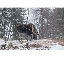 Moose in a snow storm Photographic Print