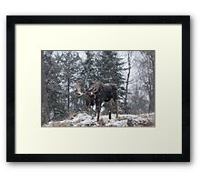 Moose in a snow snow storm Framed Print