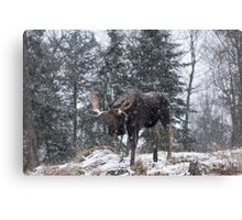 Moose in a snow snow storm Canvas Print