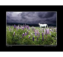 White Horse in a Lupine Dream Poster Photographic Print