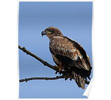 Bald Eagle, Juvenile  Poster