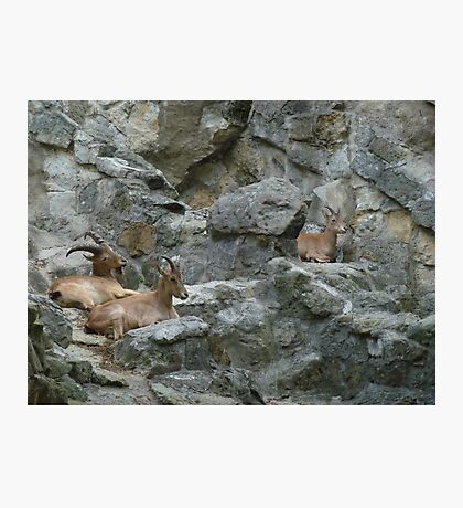 Mountain Goats Photographic Print
