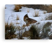 Albuquerque Bobcat Series #4 Metal Print