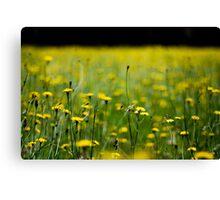 Daisy field Canvas Print