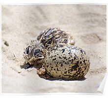 Hooded Plover Poster
