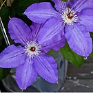 Clematis by Jane  mcainsh