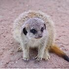 Baby Meerkat by Deb Vincent