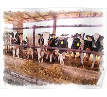 Cows in the barn Poster