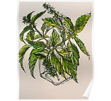 Basil. A pungent and delicious herb. Pen & wash. 21cmx28cm 2012Ⓒ Poster