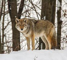 Winter coyote by Josef Pittner