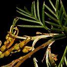 Grevillea tenuiloba by andrachne