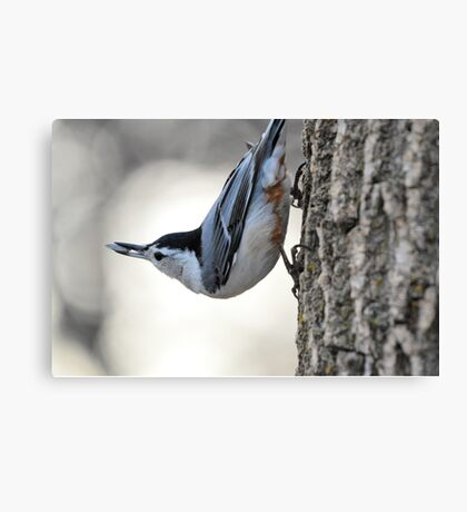 The Nuthatch 2 Canvas Print