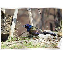 Colorful Grackle Poster