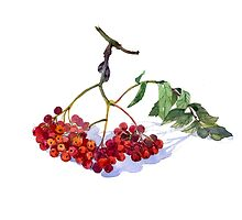 isolated on white background. Raster illustrations. Rowan. by KatyaBranch