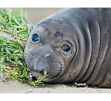 Cute Northern Elephant Seal Pup at Piedras Blancas Photographic Print