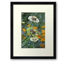 White zinnia flowers Framed Print