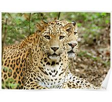two's company : leopards Poster