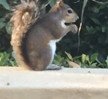 The Eating Squirrel Sticker