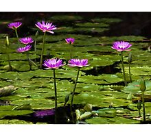 Waterlilies at Mt. Coot-tha Photographic Print