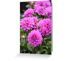 Purple dahlia flowers Greeting Card