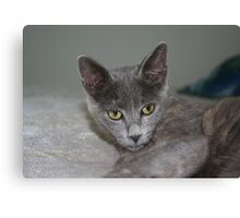 Beautiful Portrait of A Grey Russian Cross Tabby Cat Canvas Print