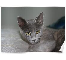 Beautiful Portrait of A Grey Russian Cross Tabby Cat Poster
