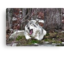 Just Yawning - Timber Wolf Canvas Print
