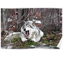 Just Yawning - Timber Wolf Poster