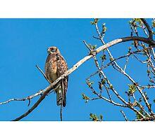 Hawk on a Limb Photographic Print