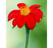Zinnia Red and Yellow Flower Photographic Print
