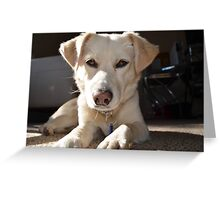 White Lab looking at you Greeting Card