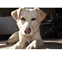 White Lab looking at you Photographic Print