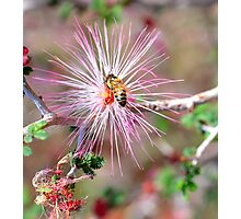 Mexican Fairy Duster with Bee Photographic Print