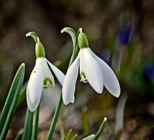 Snowdrops - Winter 2015 by cclaude