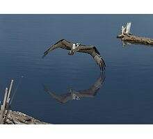 Osprey skimming the surface Photographic Print