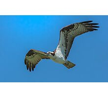 Winded Osprey Photographic Print