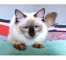 Molly; Ragdoll kitten, 7 months old. Photographic Print