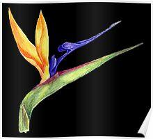 Bird of Paradise- 1 Poster