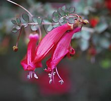 Native Fuschia by Lozzar Flowers & Art