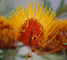 Golden Grevillea, Silky Oak. by Lozzar Flowers & Art