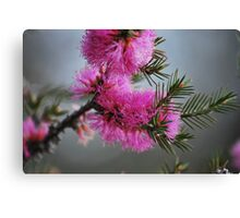 Australian Pink Bottle Brush. Canvas Print