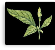 Chilly plant- green fruits Canvas Print